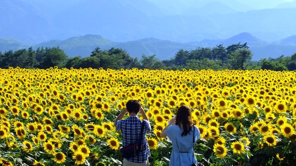 Kinh nghiệm du lịch Nghệ An ngắm hoa hướng dương 1a